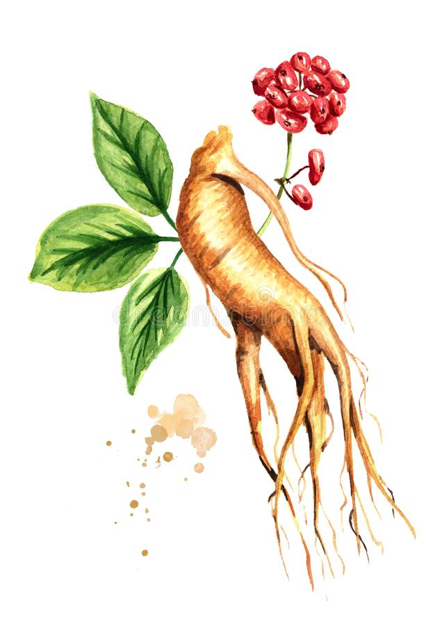 Foglia fresca organica della radice e di verde del ginseng e fiore rosso Illustrazione disegnata a mano dell'acquerello isolata s illustrazione vettoriale