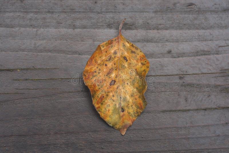 Foglia gialla caduta dell'albero di faggio in autunno fotografia stock libera da diritti