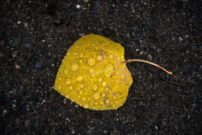 Foglia gialla con le gocce di pioggia fotografie stock