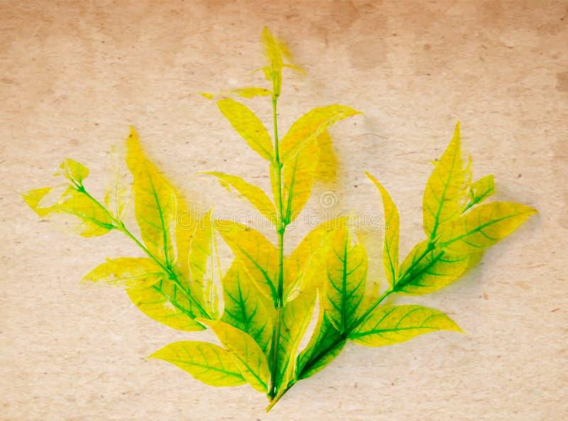 Foglia gialla e verde di bello colore dell'estratto dell'albero sui precedenti e sulla carta da parati isolati bianchi e marroni fotografia stock