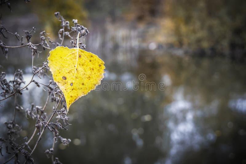 Foglia gialla sola della tremula su un fondo scuro del fiume Au fotografie stock