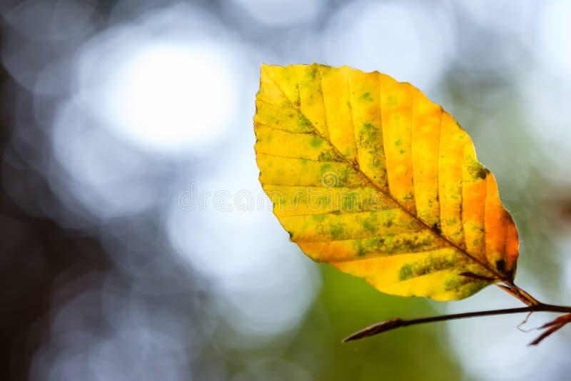 Foglia giallo arancione del faggio in autunno fotografia stock