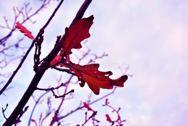 Foglia marcia della quercia rossa dell'anno scorso asciutto sul ramo, cielo blu fotografia stock libera da diritti