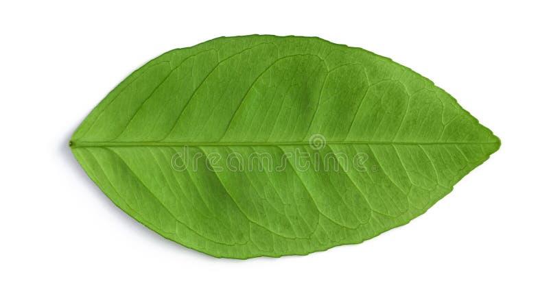 Foglia naturale verde isolata su bianco fotografia stock