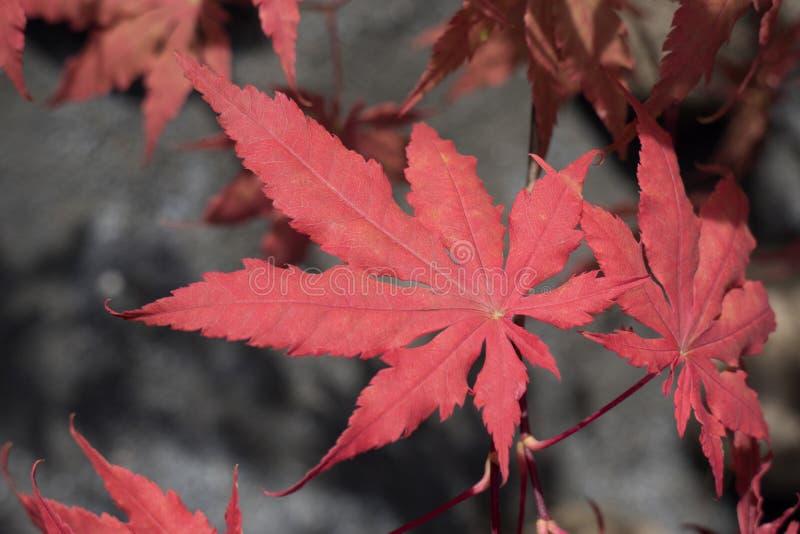 Foglia rossa del acer di autunno immagini stock
