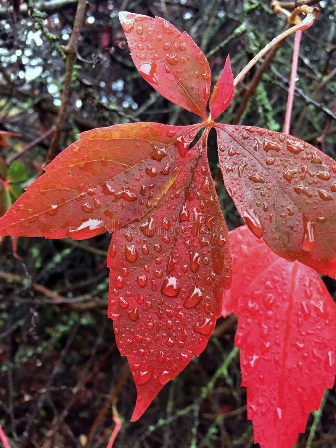 Foglia rossa di autunno con l'acqua piovana fotografia stock libera da diritti