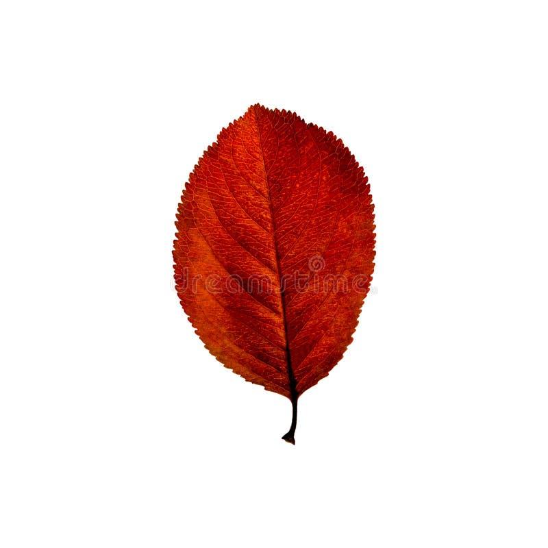 Foglia rossa di autunno isolata sui precedenti bianchi Fogli di caduta fotografia stock libera da diritti