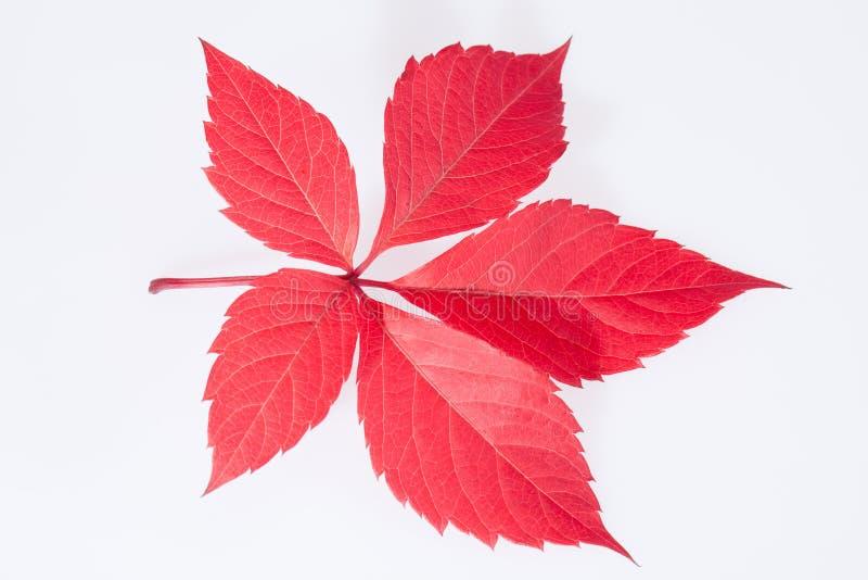 Foglia rossa di singolo autunno del parthenocissus su fondo bianco immagine stock libera da diritti