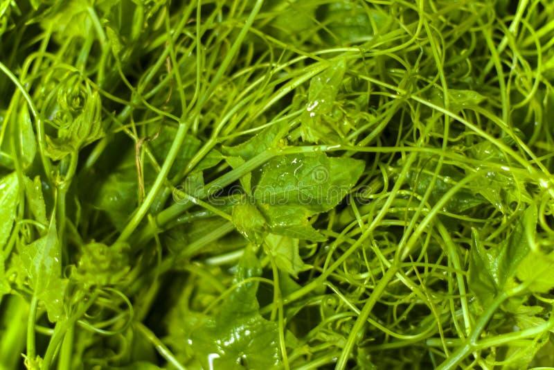 Foglia superiore della zucchina centenaria organica con il fuoco selettivo Fresco di foglie verdi Sechium edule immagine stock