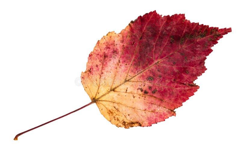 Foglia variopinta caduta secca di autunno dell'albero di ontano fotografie stock