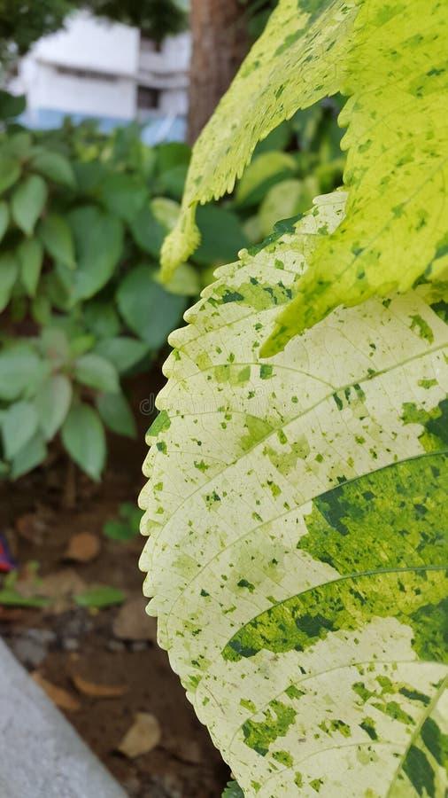Foglia verde chiaro della foglia mezza fotografia stock