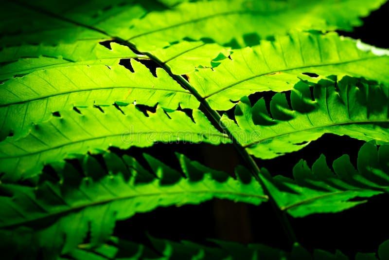 Foglia verde con luce solare su fondo scuro Priorità bassa della natura Macro colpo di struttura della foglia della felce Foglia  fotografia stock libera da diritti