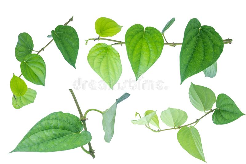 Foglia verde del betel isolata sui precedenti bianchi con il ritaglio fotografia stock libera da diritti