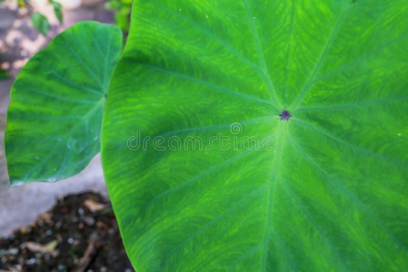 Foglia verde del Caladium, fotografia stock