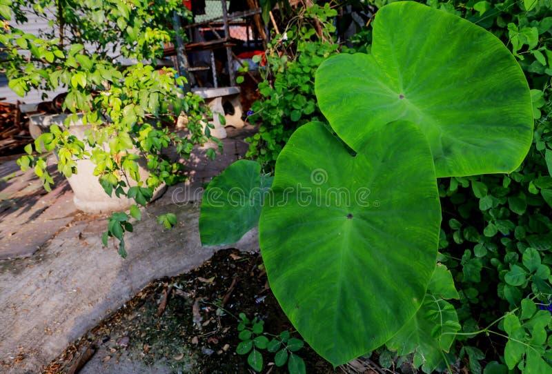 Foglia verde del Caladium, fotografia stock libera da diritti