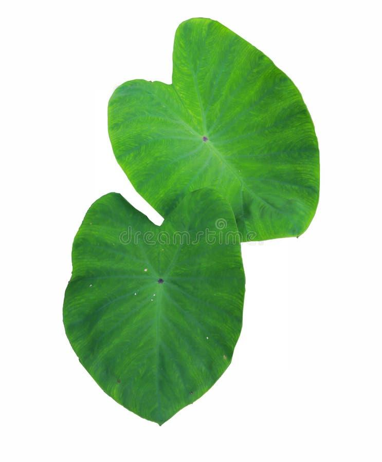 Foglia verde del Caladium, immagini stock libere da diritti