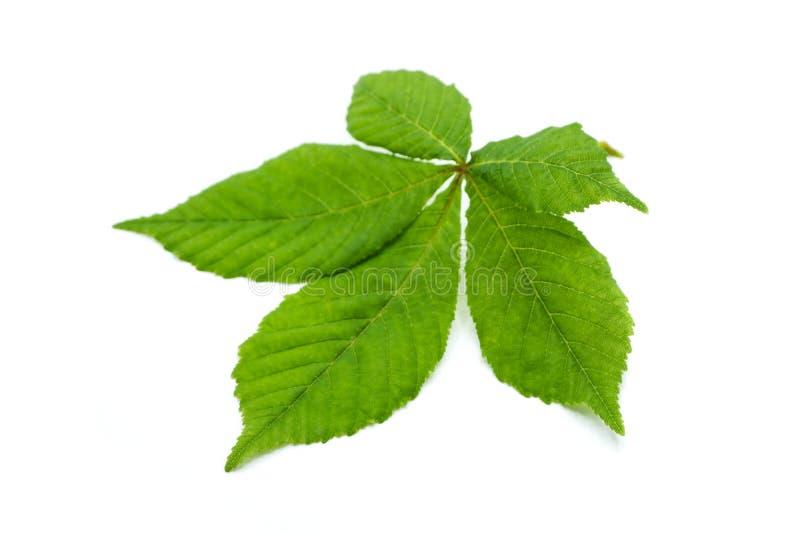 Foglia verde del castagno isolata su fondo bianco fotografia stock