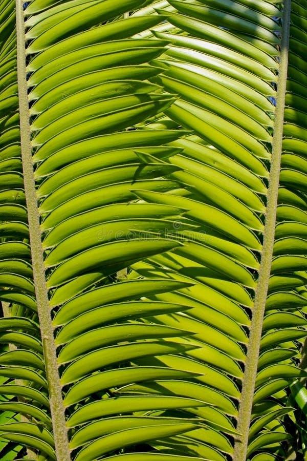 Foglia verde del cycad, palma immagini stock libere da diritti