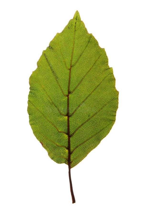 Foglia verde del faggio porpora isolata su bianco fotografie stock libere da diritti