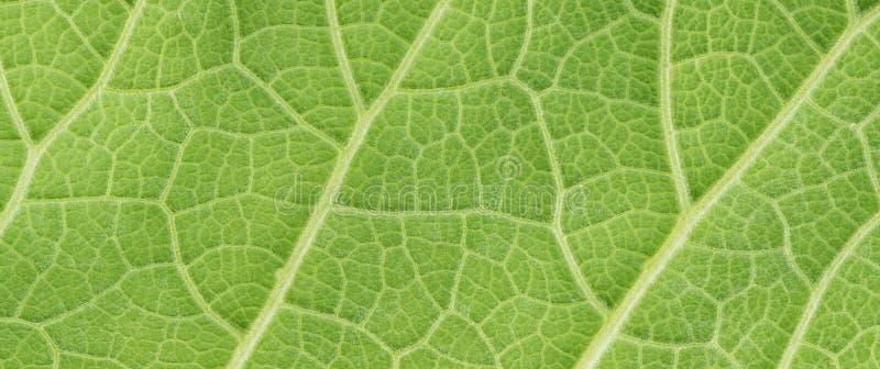 Foglia verde del fondo lanuginoso della copertura, enula campana della pianta, inula h immagini stock