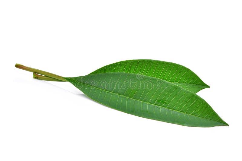 Foglia verde del frangipane isolata su bianco immagini stock libere da diritti