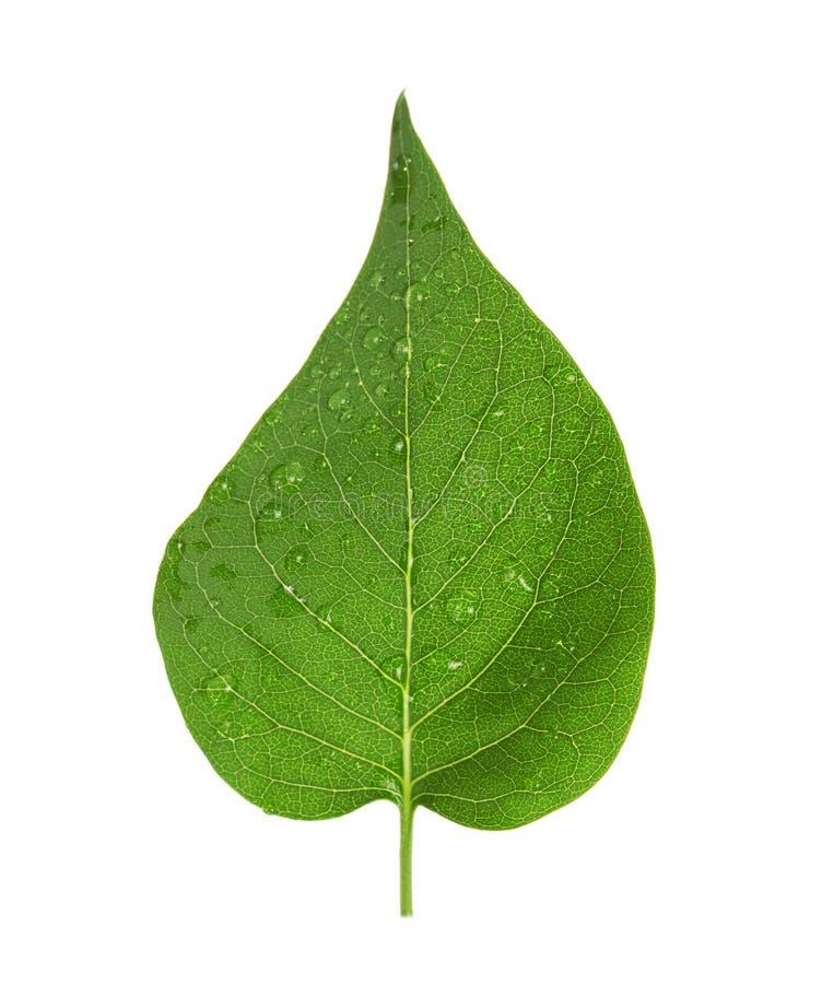 Foglia verde del lillà con striato e gocce di acqua isolato su bianco fotografia stock