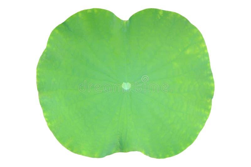 Foglia verde del loto isolata su fondo bianco immagine stock libera da diritti