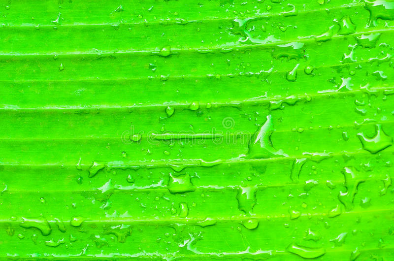 Foglia verde della banana fotografie stock libere da diritti
