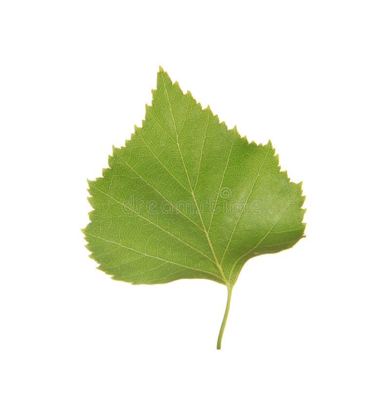 Foglia verde della betulla immagini stock libere da diritti