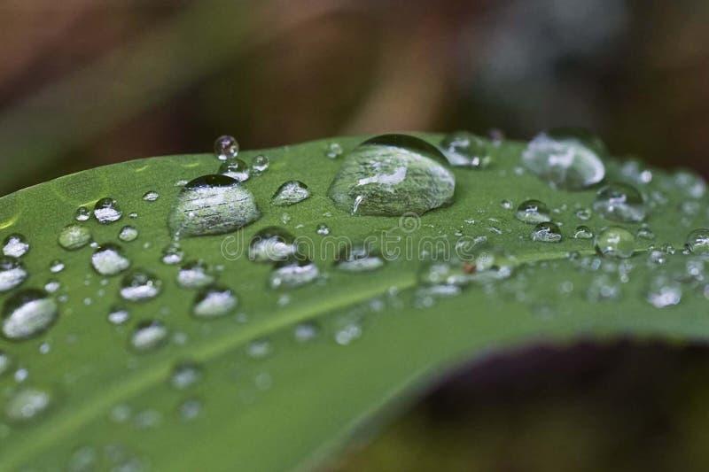 Foglia verde della campanula con le gocce di acqua sopra fotografie stock libere da diritti