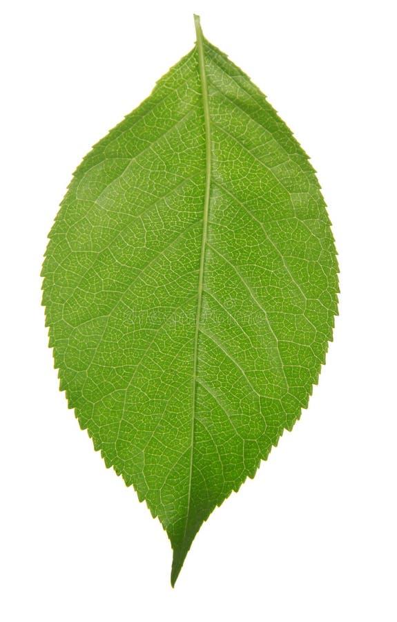 Foglia verde della ciliegia fotografia stock