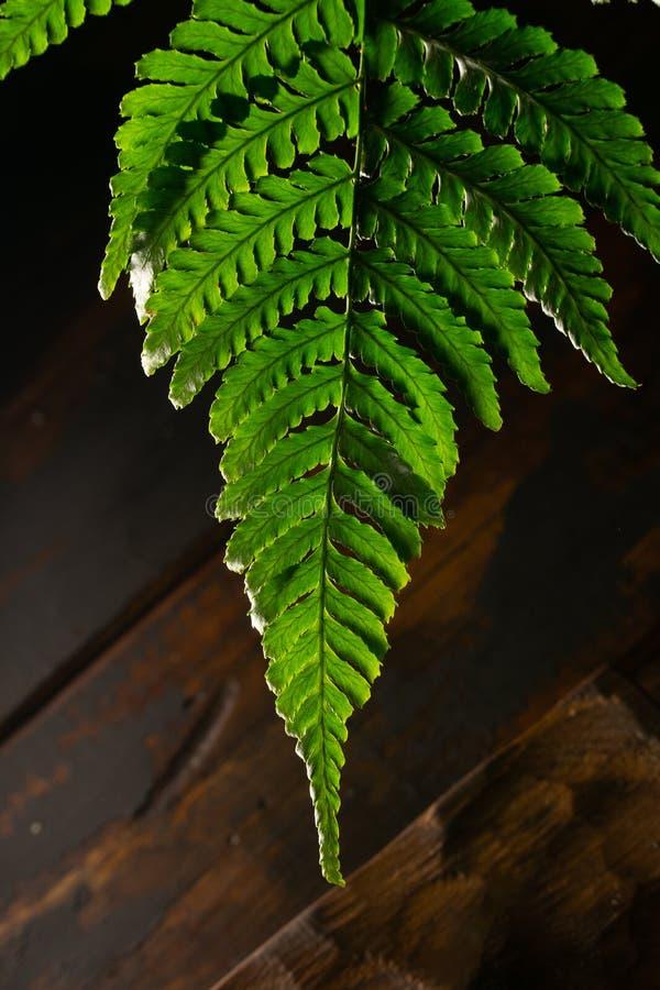 Foglia verde della felce su fondo di legno rustico Biologia, natura fotografia stock libera da diritti