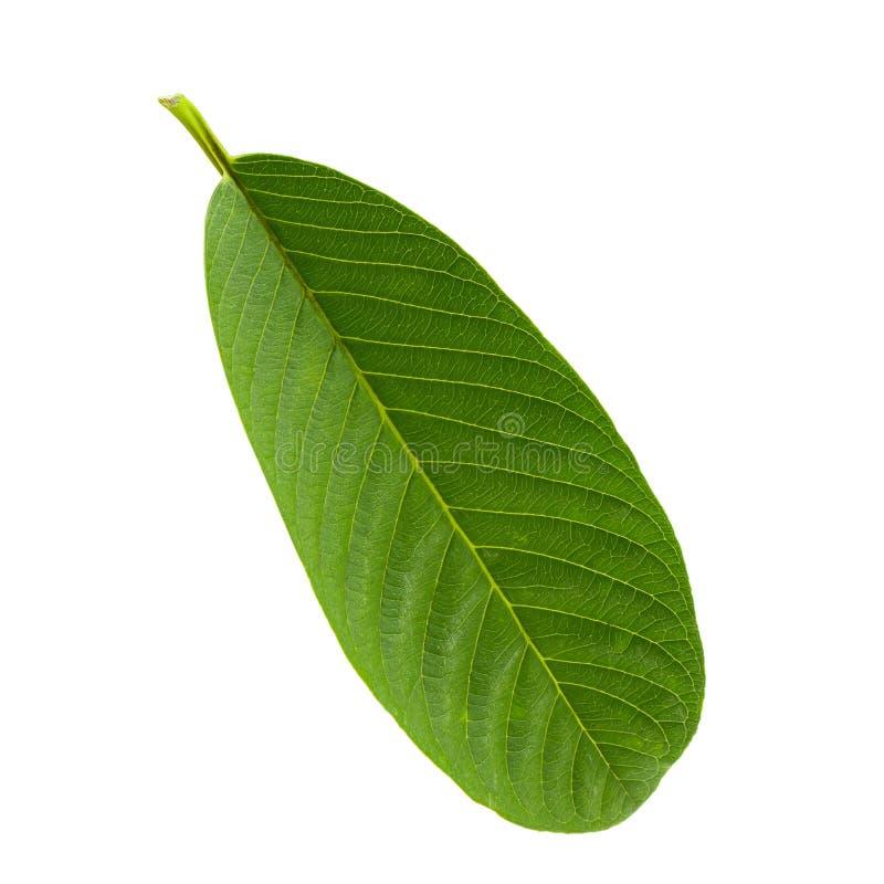 Foglia verde della guaiava isolata sopra fondo bianco fotografia stock libera da diritti