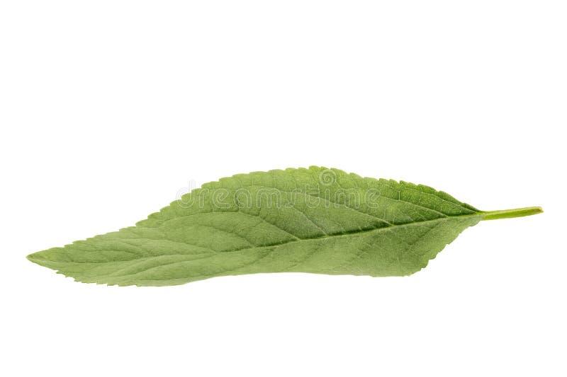 Foglia verde della mela isolata su fondo bianco fotografia stock libera da diritti