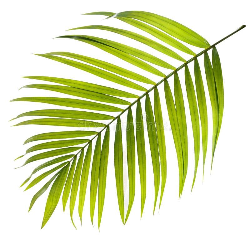 Foglia verde della palma su bianco immagine stock libera da diritti