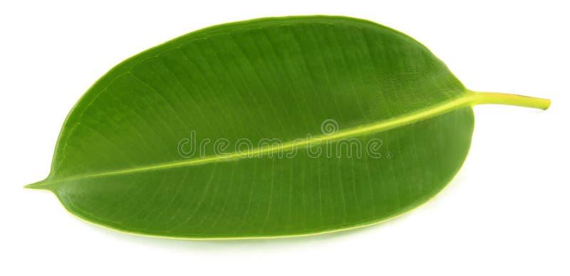 Foglia verde della pianta da gomma immagine stock
