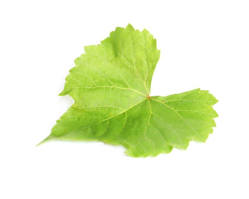Foglia verde fresca dell'uva isolata fotografia stock libera da diritti