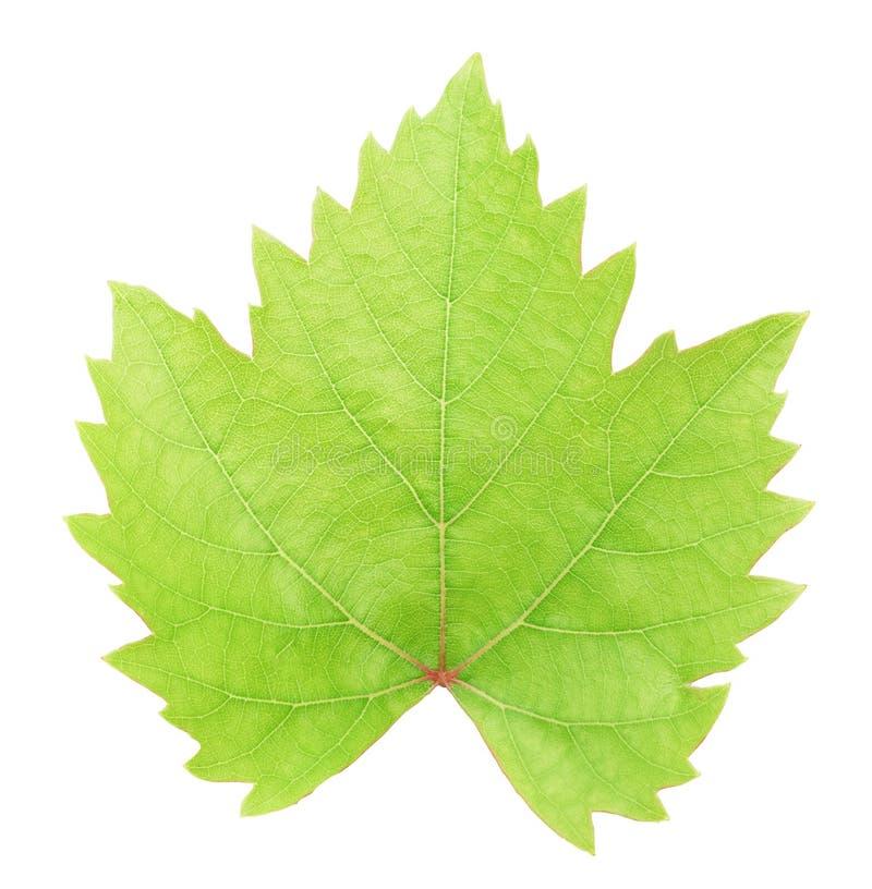 Foglia verde fresca dell'uva isolata con il percorso di ritaglio immagini stock libere da diritti