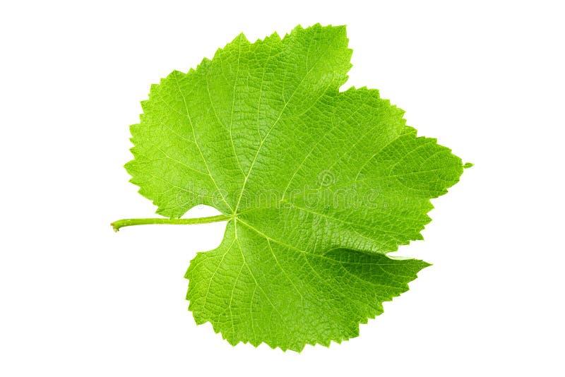 Foglia verde fresca dell'uva isolata su fondo bianco immagine stock