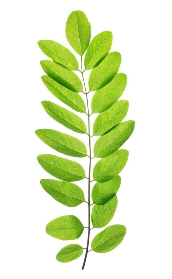 Foglia verde fresca della molla dell'acacia o della locusta nera immagini stock libere da diritti