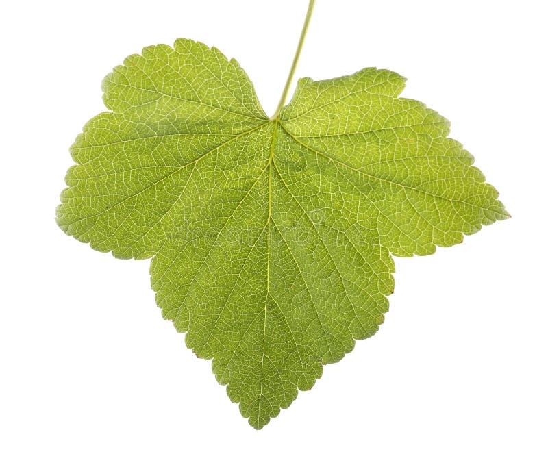 Foglia verde intenso, isolata su un fondo bianco Estate e foglia fresca da un albero del ribes fotografia stock libera da diritti