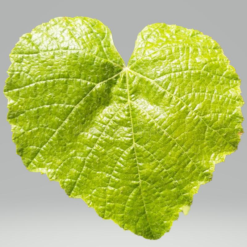 Foglia verde su un fondo trasparente fotografie stock