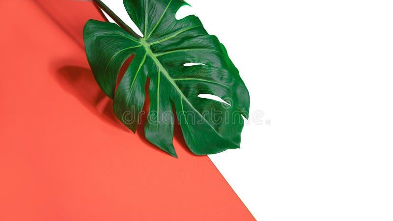 Foglia verde tropicale di monstera della palma o pianta del formaggio svizzero su corallo rosa e su fondo bianco immagini stock