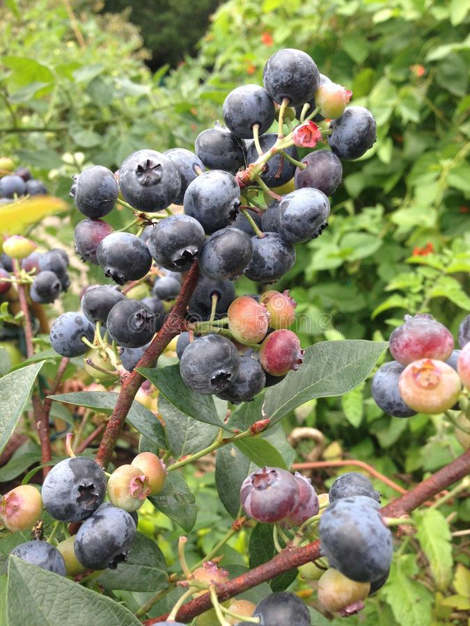 Fogliame crescente all'aperto britannico di verde della frutta dei mirtilli selvaggi fotografie stock