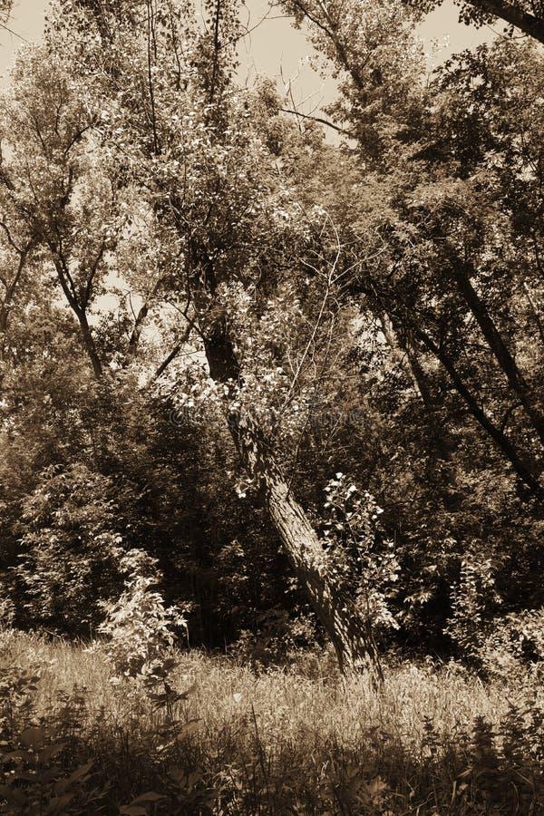 Download Fogliame Degli Alberi Della Steppa Fotografia Stock - Immagine di esterno, naughty: 117980012