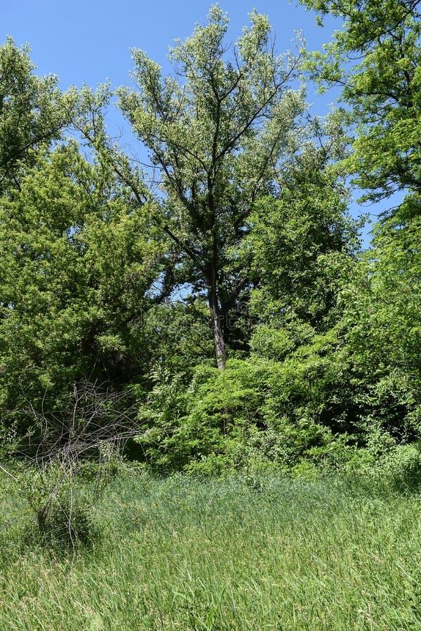Download Fogliame Degli Alberi Della Steppa Immagine Stock - Immagine di pianta, foresta: 117980157
