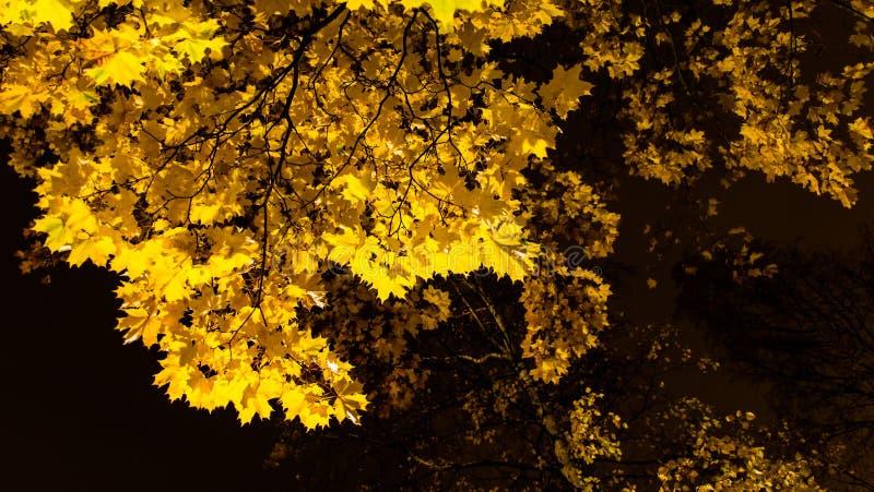 Fogliame dell'acero di autunno alla notte immagine stock libera da diritti