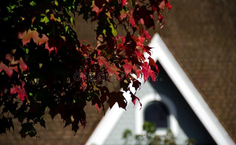 Fogliame dell'acero rosso nel centro città di Redmond immagini stock