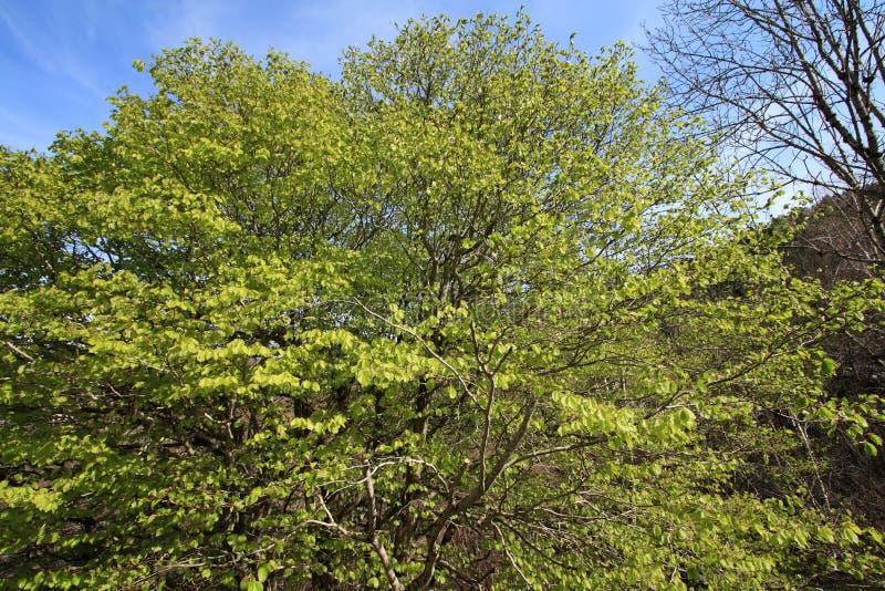 Fogliame dell'albero di faggio in primavera fotografia stock