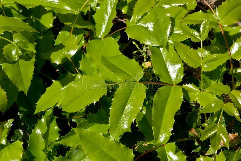 Fogliame dell'Oregon Grapeholly fotografie stock